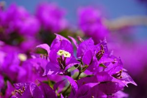 Ragam Tanaman Hias Bougenville Image by Bruno Germanya on Pixabay