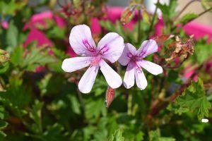 Ragam tanaman hias geranium Image by JacLou DLa on Pixabay